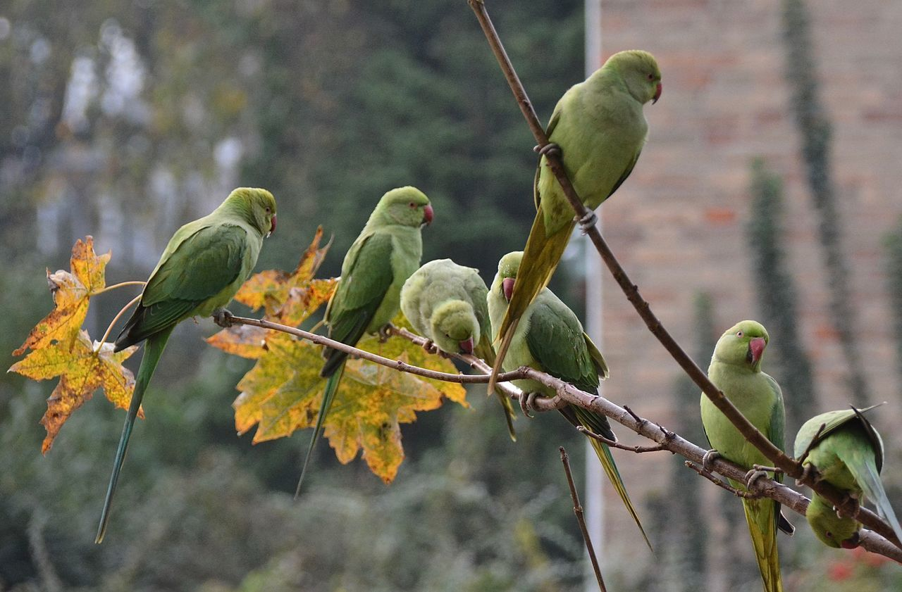 Urban Nature Rose Ringed Parakeets Birds_collection Birds Of EyeEm  Bird Photography From My Point Of View Animal Photography Exotic Creatures