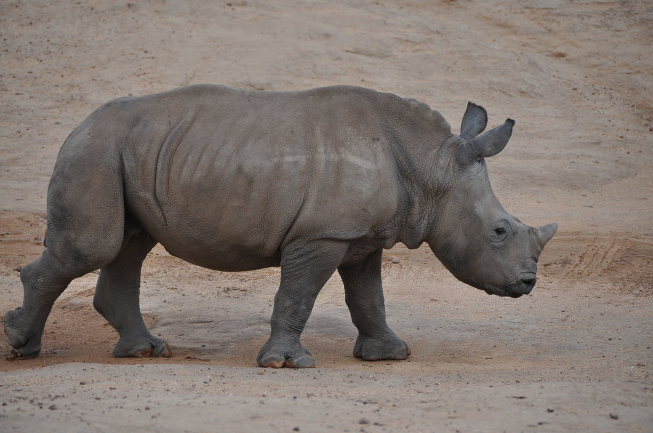 Animal Themes Animals In The Wild Aquila Game Reserve Baby Rhino Beauty In Nature Day Endangered Animals Full Length Mammal Nature No People One Animal Outdoors Rhinoceros