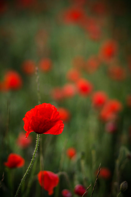 Beauty In Nature Blooming Close Up Close-up Day Flower Flower Head Fragility Freshness Growth Macro Nature No People Outdoors Petal Plant Poppy Red Remembrance Day Remembrancepoppy Vertical