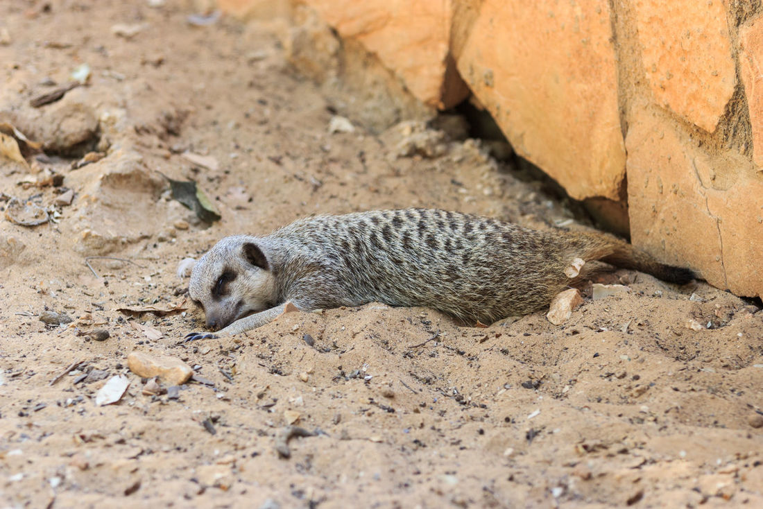 Meerkats sleeping afternoon on the sand under the sun Afternoon Animal Themes Bun Collateral Desert Hill Isolated Looking Mammal Meerkat Motionless Mountain Mountains No People One Animal Outdoors Park Peck Relaxing Sand Squirrel Standing Sun Zoo Zoology