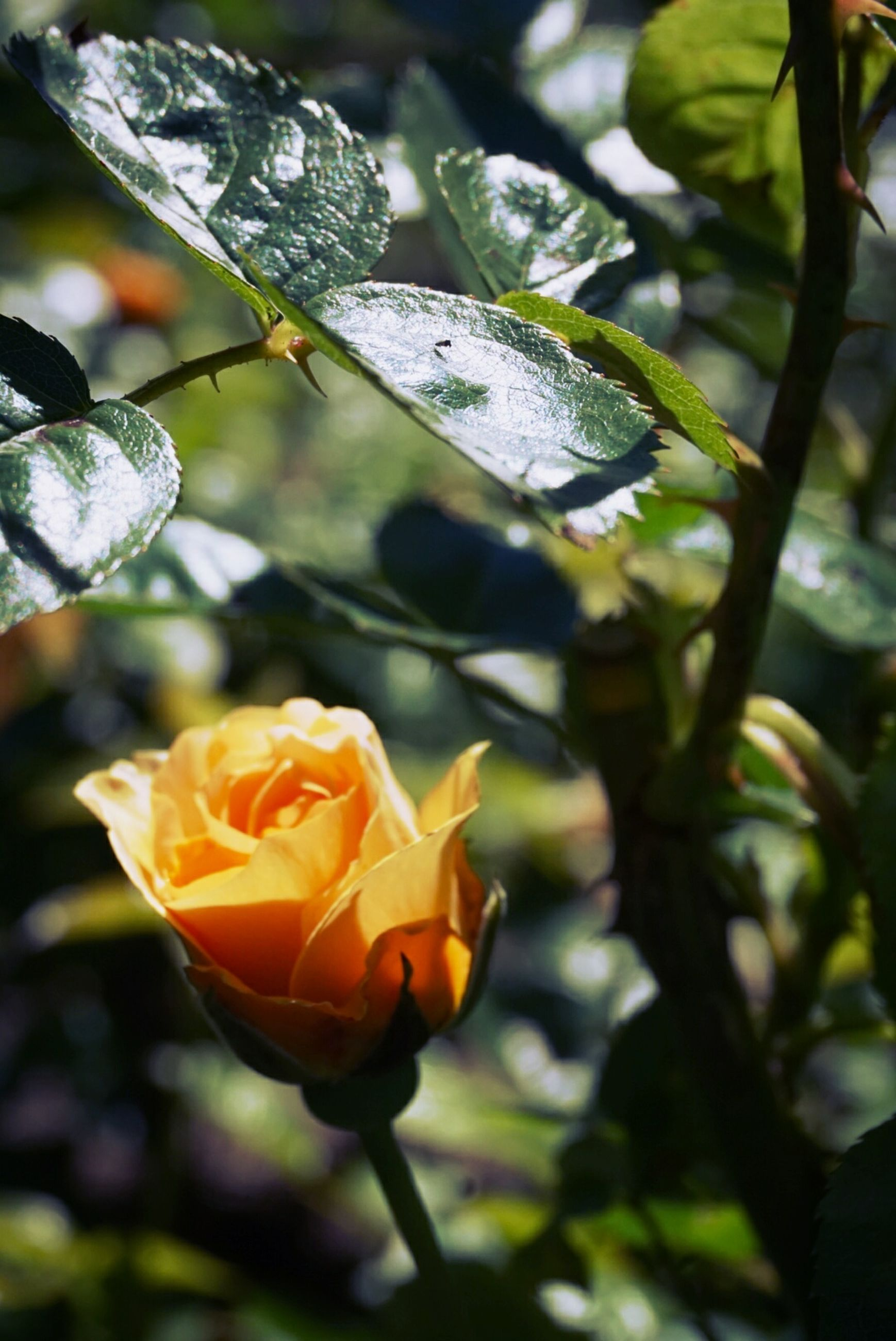 flower, petal, fragility, flower head, freshness, growth, focus on foreground, beauty in nature, close-up, blooming, plant, nature, rose - flower, orange color, in bloom, single flower, park - man made space, leaf, day, blossom