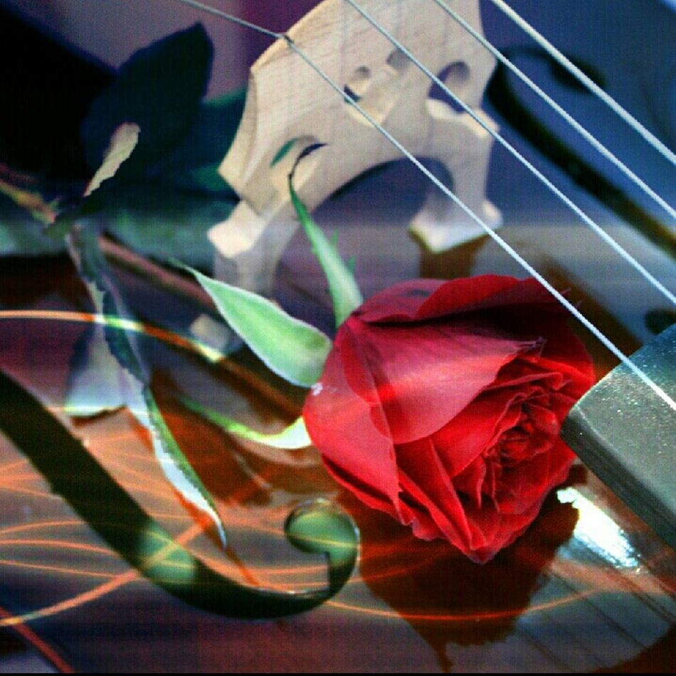 Flowers Paradise Rosé Music Cello My Passion, My Love, My Life. I Am Que. A Violoncellista. Eye4photography  Què Mazlan Eye4delight Eye4music
