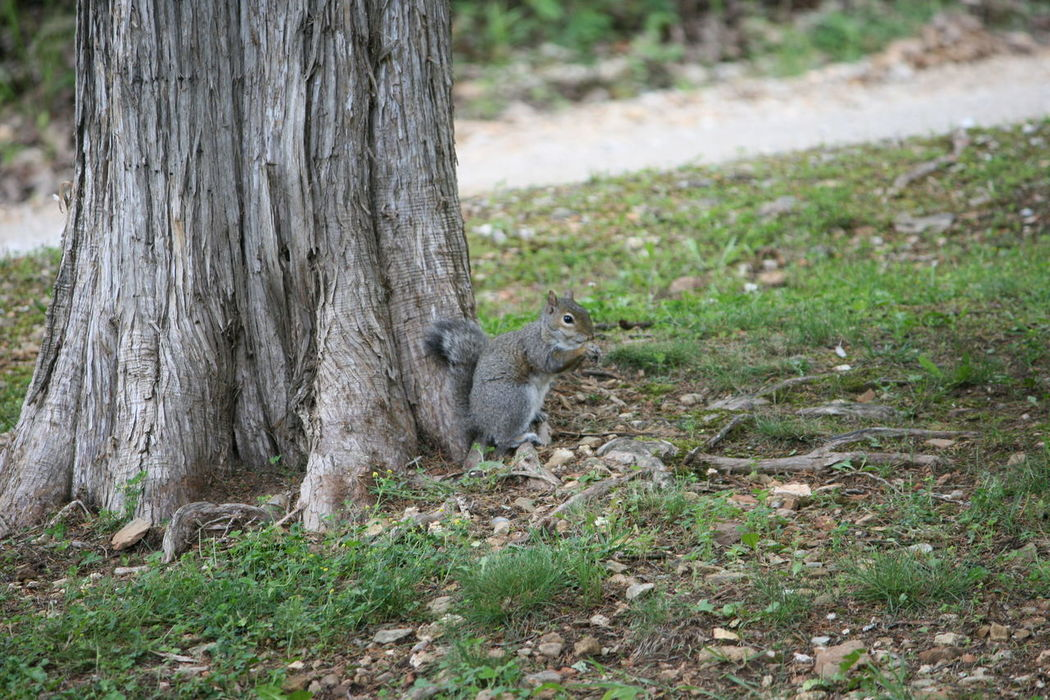 Animal Themes Animal Wildlife Animals In The Wild Day Grass Gray Squirrel Growth Mammal Nature No Filter No Edit No People One Animal Outdoors Squirrel Tree Tree Trunk