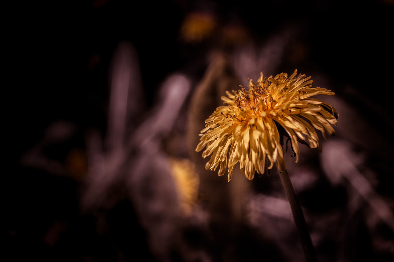 Beauty In Nature Blooming Close-up Dandelion Day Flower Flower Head Focus On Foreground Fragility Freshness Growth Nature No People Outdoors Petal Plant Stem Wilted Plant Yellow