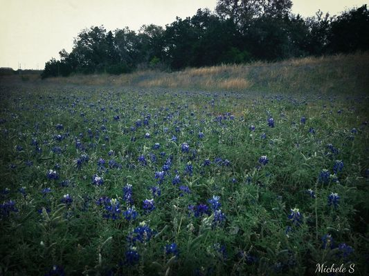 Texas Bluebonnet by Michele