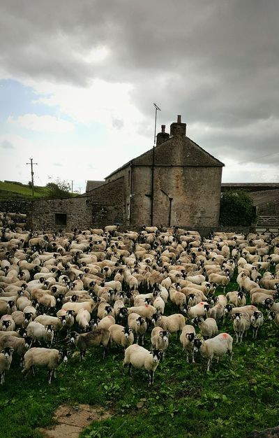 Sheep farming Architecture Built Structure Building Exterior Field Rural Scene Abundance Outdoors No People Agriculture Nature Cloudy Farm Sheep Yorkshire Dales