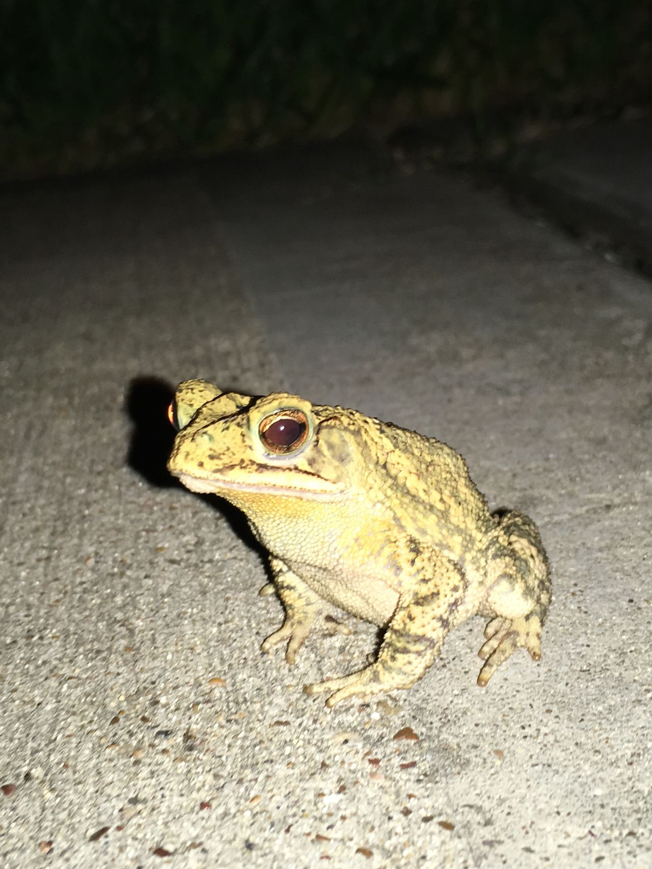 Nature Toad Night Photography Flash