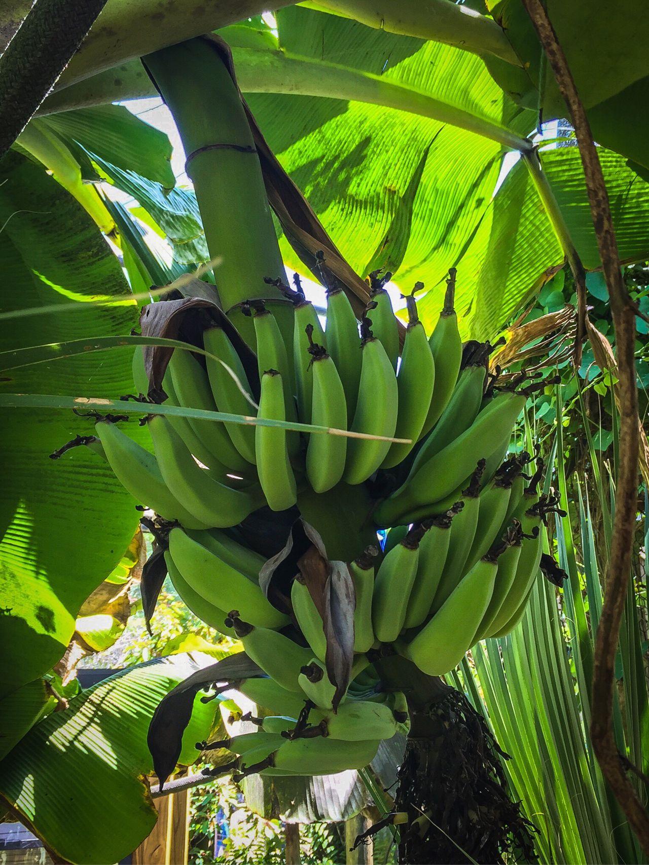 Bananas, Tree Fruit Nature Fresh Unripe Portrait Bunch Of Bananas Green Bananas