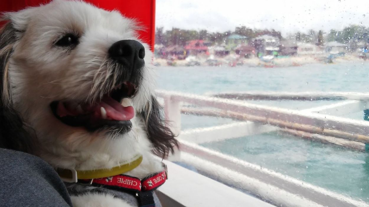 Longing for someone.... Dogporn Puppy Love EyeEmBestPics Summer Vibes Dogslife Dogsperspective Dogs Puppylove 😘😍🐶 Dog Vacation Puppy Dog Life Dog❤ Boat Ride Boats Boat Trip Relaxing Sea And Sky Puppy Playtime Whitepuppy Seascape Dogs SweetLe Summer Original Experiences Quezon Province Philippines