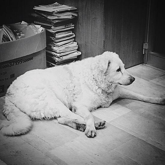 Dog Mydog PastoreAbruzzese White
