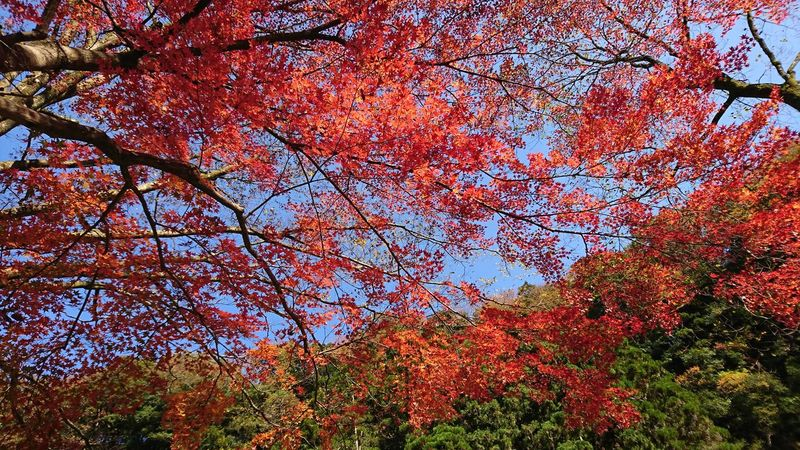 Low Angle View Tree Nature Growth No People Multi Colored Outdoors Beauty In Nature Day Sky Close-up 高千穂峡 紅葉🍁