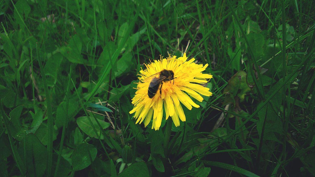 Löwenzahn Biene Natur