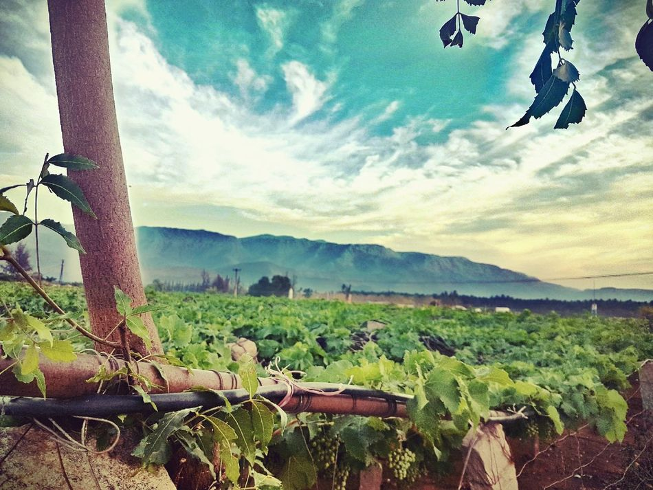 Vineyard Kodaidairies First Eyeem Photo