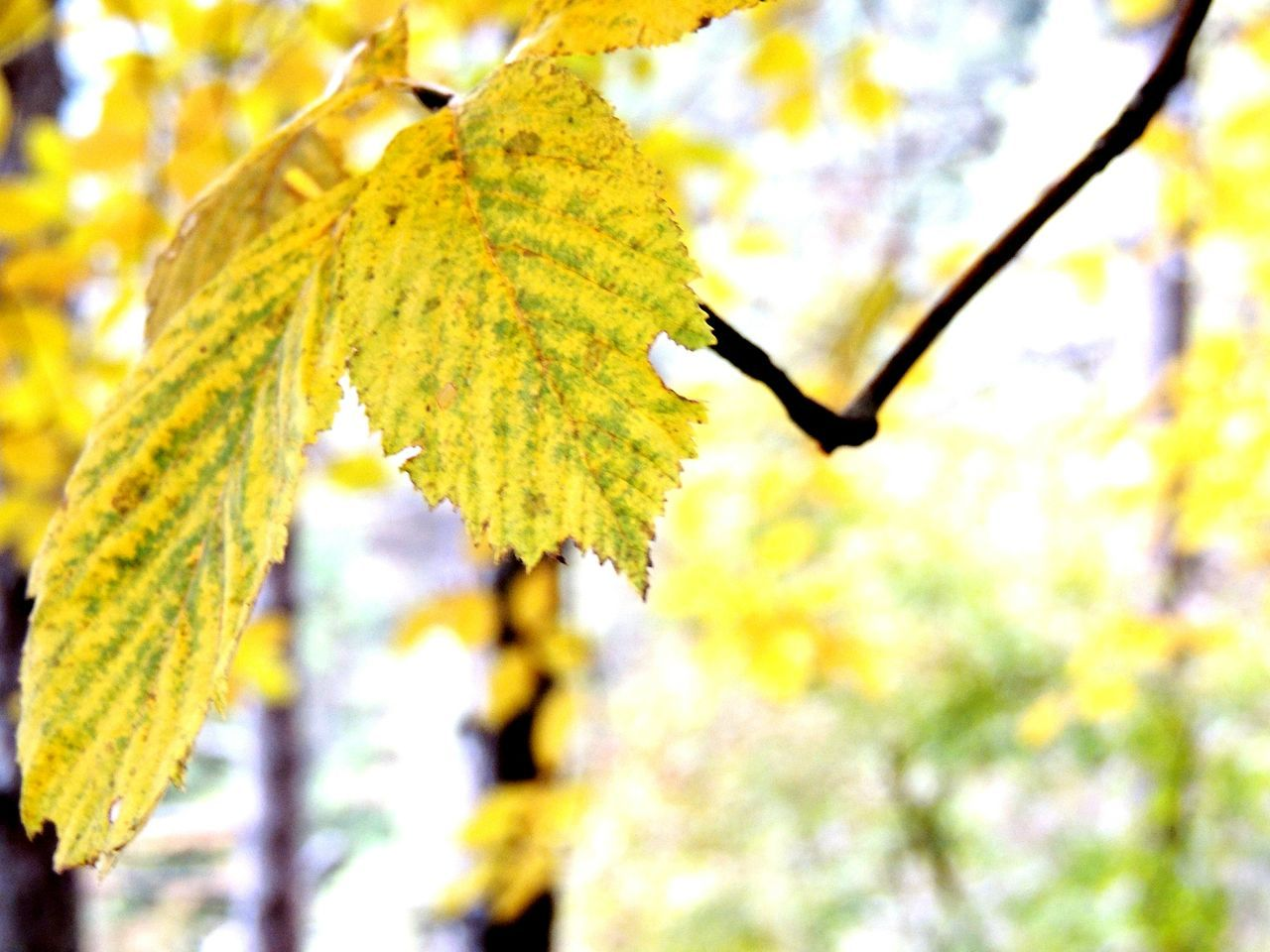 Animal Themes Animals In The Wild Beauty In Nature Branch Close-up Day Focus On Foreground Growth Leaf Low Angle View Nature No People Outdoors Tree Leaf 🍂 Leafs 🍃 Leafs Photography Leafs Colors Leafs Leafscape Leafs. Autumn Autumn Colors Autumn🍁🍁🍁 Fresh On Eyeem