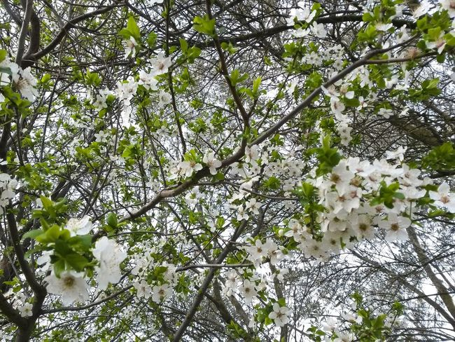 Low Angle View Tree Nature Growth Beauty In Nature Green Color Branch No People Backgrounds Day Outdoors Close-up Sky Freshness Natureporn Mothernature Nature Photography Flower Head Tree Blossom Beauty In Nature Springtime Flower Growth White Color