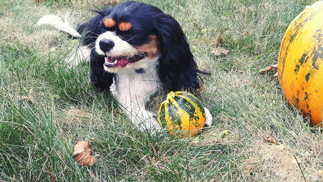 Kluska~ Animal Themes One Animal Dog Outdoors Pets Relaxing Nature Beautiful Getting Inspired Photography Poland Enjoying Life Hello World Hi! The Best  Cavalier King Charles Spaniel Fun Friend Hanging Out