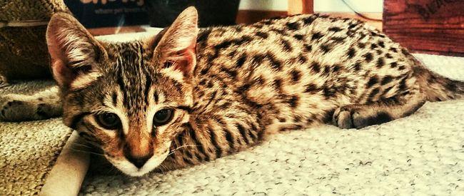 (Meet Brody) F2savannah Savannah Cat  Cat Spot's Catoftheday Playful Cat Cat Lovers Catlady Catlife Catportrait Catholic Catstagram Catofeyem