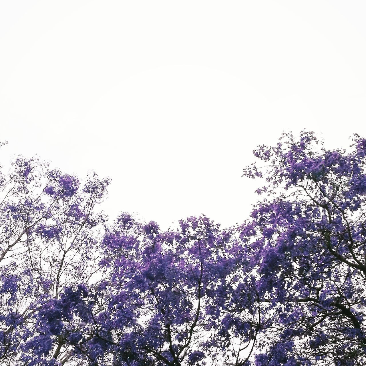 Sky Nature Silhouette No People Day Outdoors Close-up Beauty In NatureMausoleum Dome Arch Façade Local Landmark Corridor History Courtyard  Tree Fragility Jacaranda Jacaranda Tree Purple Purple Flowers