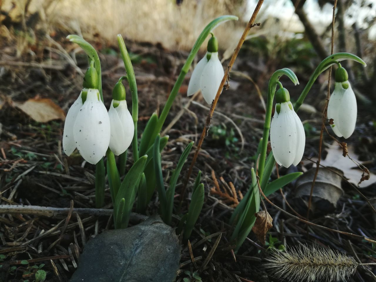 growth, nature, flower, fragility, snowdrop, plant, no people, beauty in nature, outdoors, day, freshness, close-up, flower head