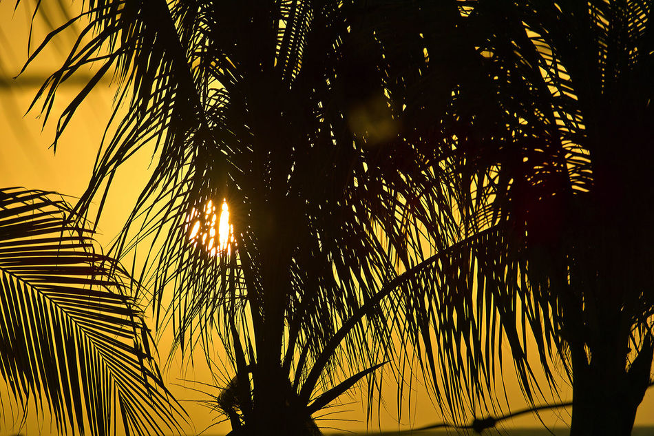 Sunset behind palm trees in Curaçao Beauty In Nature Branch Close-up Curacao Day Growth Nature No People Outdoors Palm Tree Palm Tree Silhouette Silhouette Sky Sunset Tree Yellow Sky, Sunset.