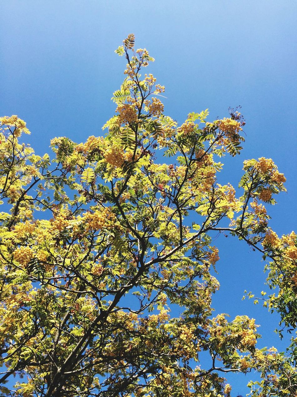 Yellow Leaves Crystal Blue Sky