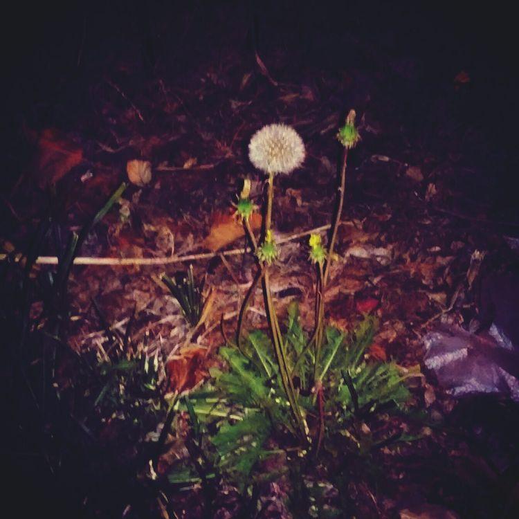 Nature Flora Of Elmhurst, NY Wish Flowers Flowers At Night