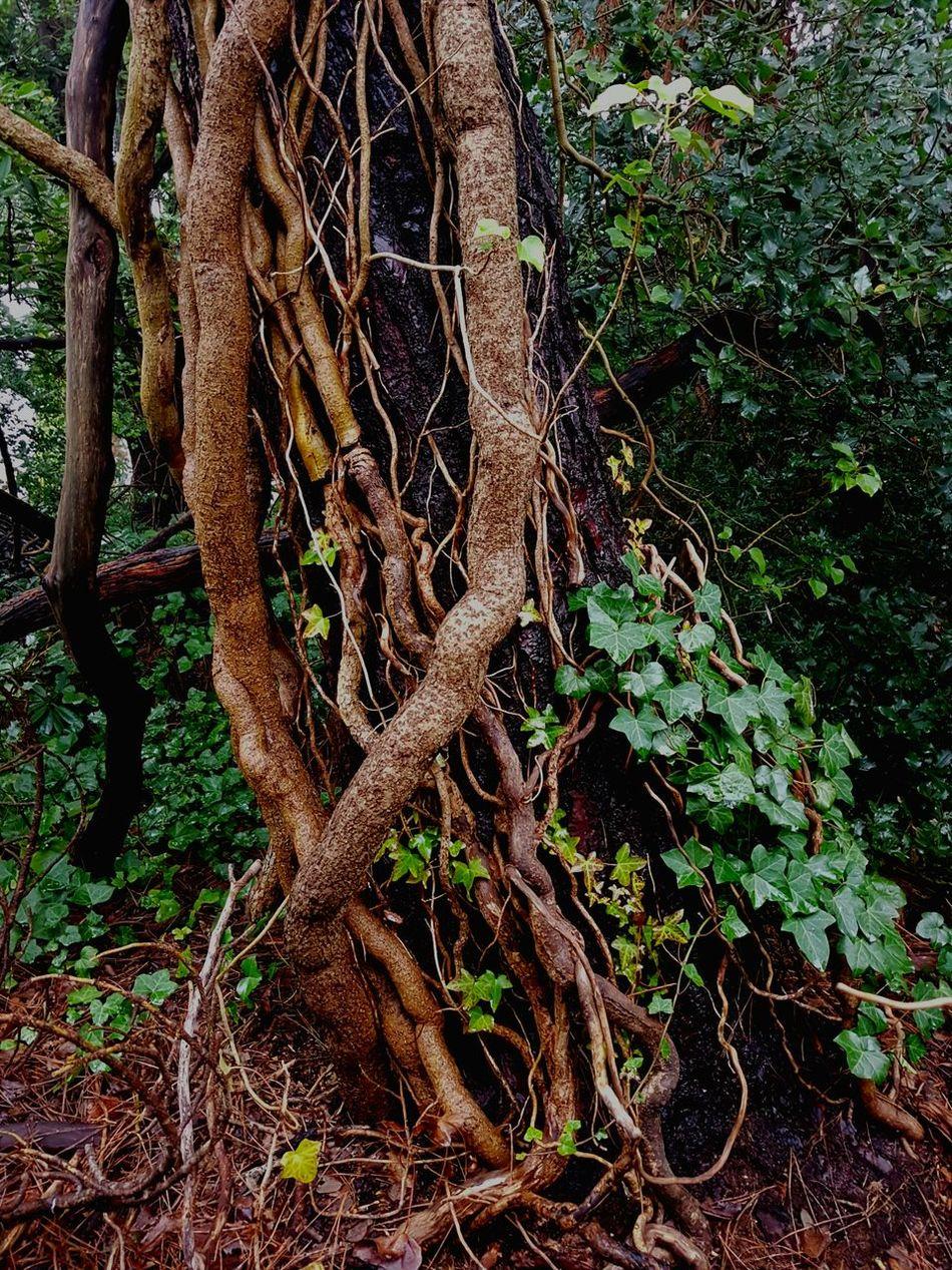 Thick Ivy tendrils climbing a Scots Pine. Ivy Hedera Helix Scots Pine Pinus Sylvestris Ivy Tendrils Plant Strangulation Ivy Parasitising Pine Tree England WoodLand Wet Woodland Winter Woodland Poole, Dorset Uk