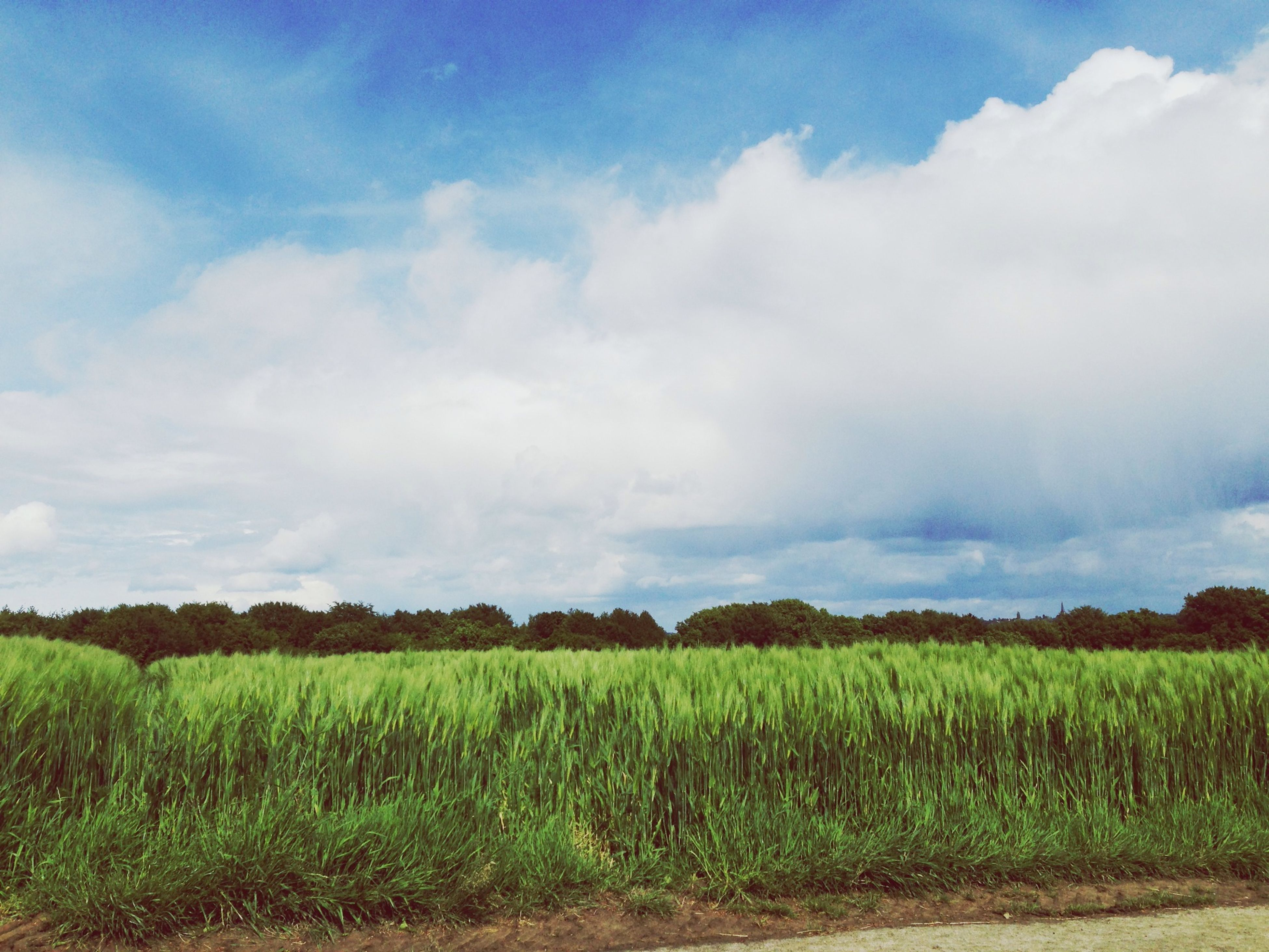 field, sky, growth, agriculture, tranquil scene, landscape, tranquility, rural scene, beauty in nature, nature, grass, crop, farm, scenics, cloud - sky, green color, plant, cloud, cultivated land, cloudy