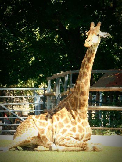 Russian Nature Animal Zoo Russia россия Moscow, Москва московскийзоопарк жираф Like природа и красота природароссии