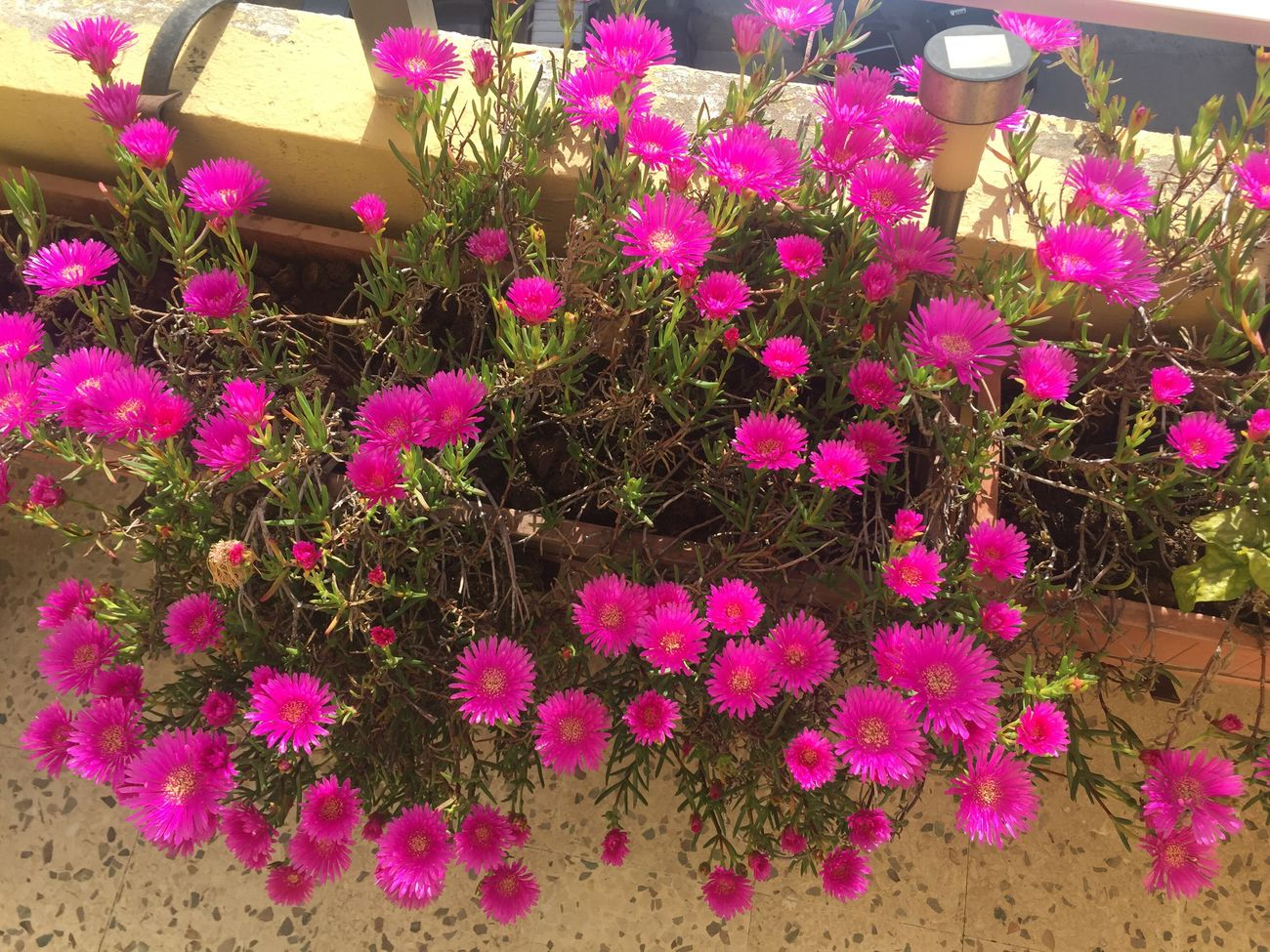 Flower Blooming Pink Color On My Balcony