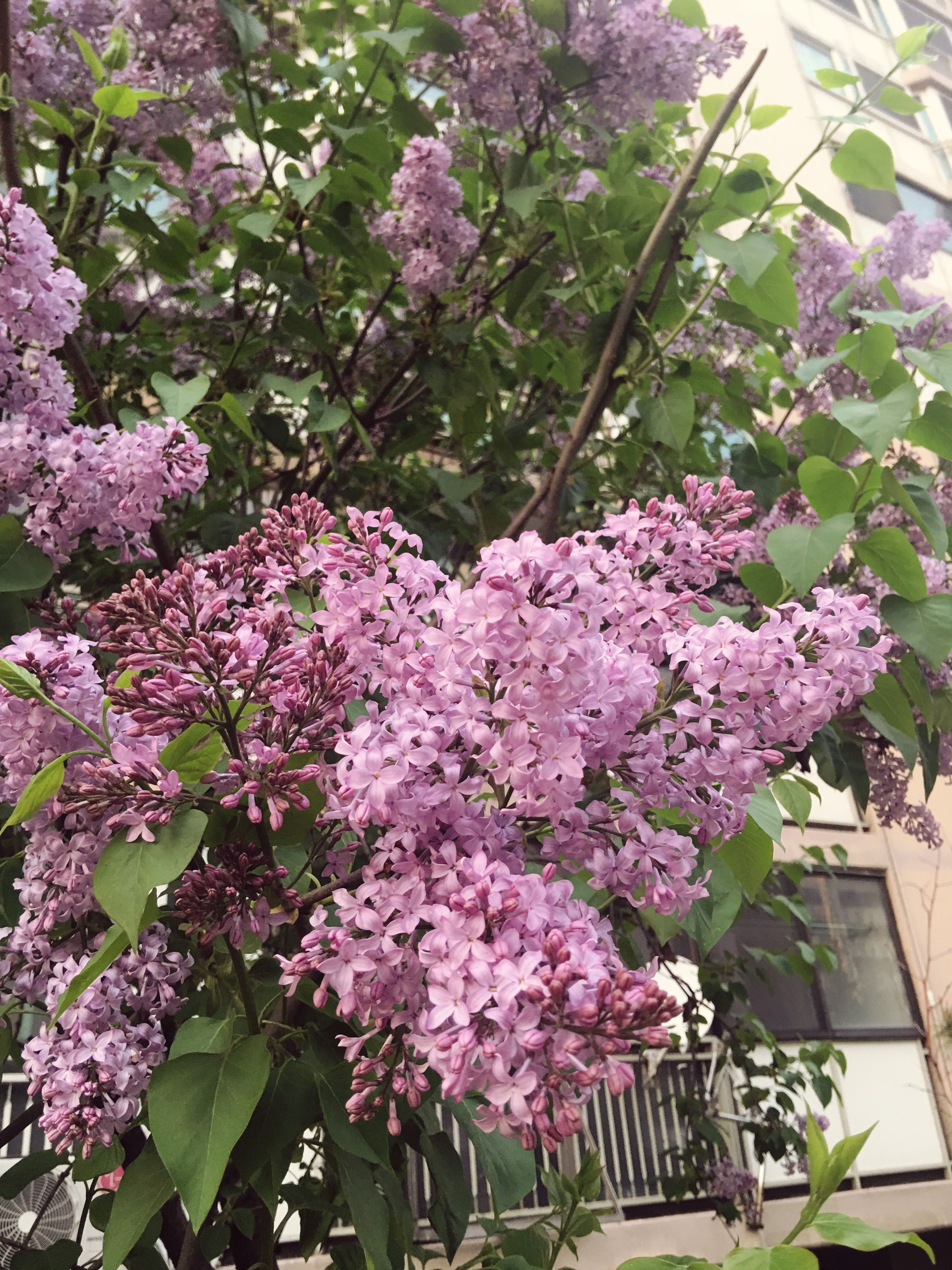 growth, flower, nature, blossom, spring, plant, no people, lilac, beauty in nature, freshness, day