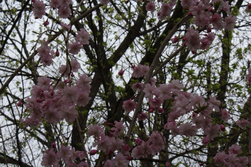 blossoms near my house Outdoors Flower Blossom Tree Springtime Cherry Blossom Branch Growth Nature Beauty In Nature Freshness Botany Pink Color Low Angle View Petal Twig No People Backgrounds