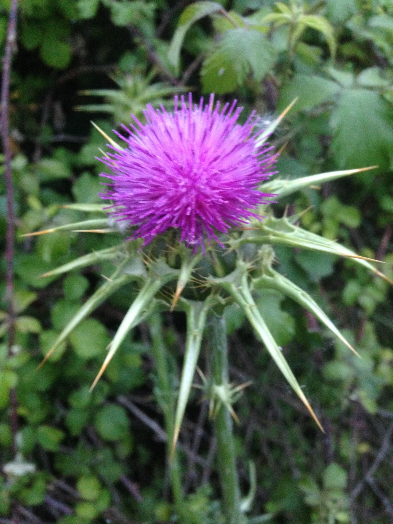 Beauty In Nature Blooming Blossom Botany Cardo Close-up Day Flower Flower Head Focus On Foreground Fragility Freshness Green Color Growth In Bloom Nature No People Outdoors Petal Pink Color Plant Purple Selective Focus Stem Thistle