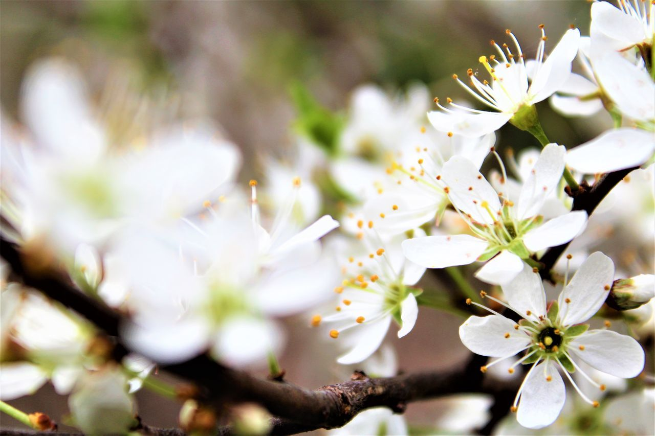 white color, flower, fragility, beauty in nature, blossom, apple tree, nature, apple blossom, tree, springtime, freshness, botany, orchard, selective focus, growth, no people, petal, branch, stamen, close-up, day, outdoors, flower head