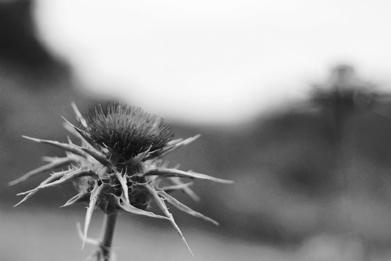 Blackandwhite Monochrome EyeEm Nature Lover Flowers thistle flower.