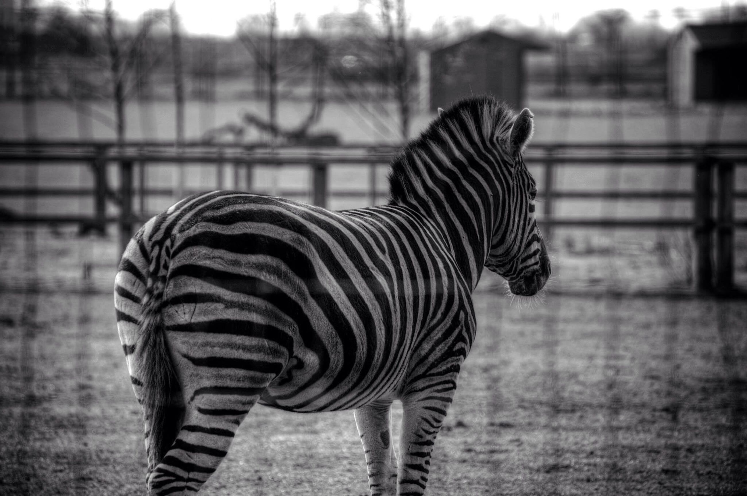 animal themes, animals in the wild, focus on foreground, one animal, wildlife, zebra, striped, animal markings, side view, close-up, standing, field, zoo, natural pattern, nature, outdoors, full length, safari animals, two animals, day