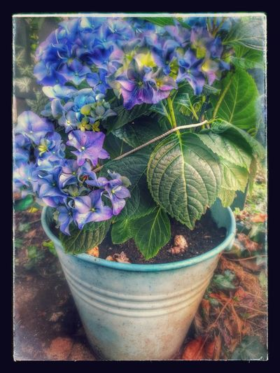 A bucket with a collorfull plant. Leaf Nature No People Plant Growth Freshness Close-up Day Outdoors Water Purple Flower Purple Beauty In Nature Bucket Of Flowers Rhodendron Flower Fragility Plant With Filter Huawei P9 Plus Photography Made By Noesie EyeEmNewHere The Week On EyeEm