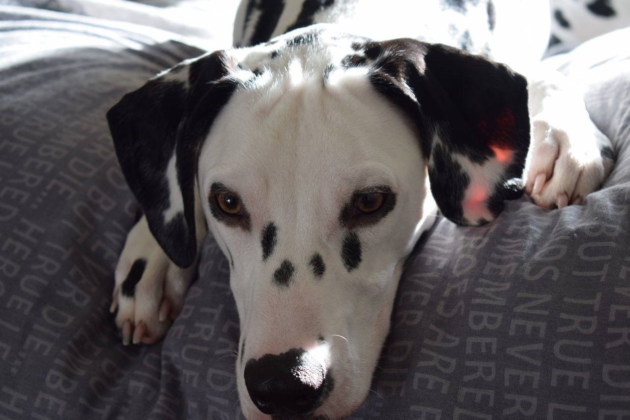 Close-Up Portrait Of Dalmatian Dog Relaxing On Bed At Home