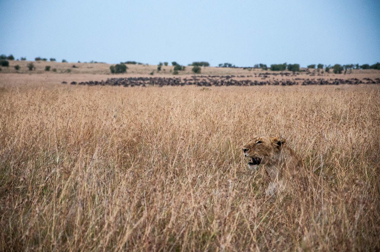 Africa Anmial Kenya Masai Mara Nature Outdoors Safari Wild Wildlife