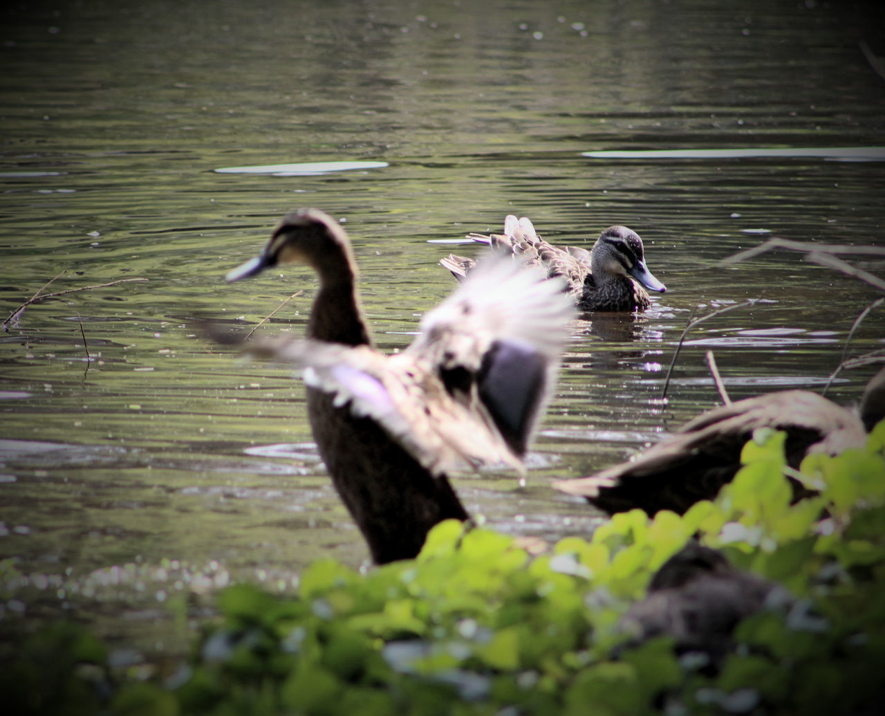 animals in the wild, animal themes, bird, water, lake, animal wildlife, nature, no people, day, one animal, waterfront, water bird, outdoors, spread wings, swimming, beauty in nature
