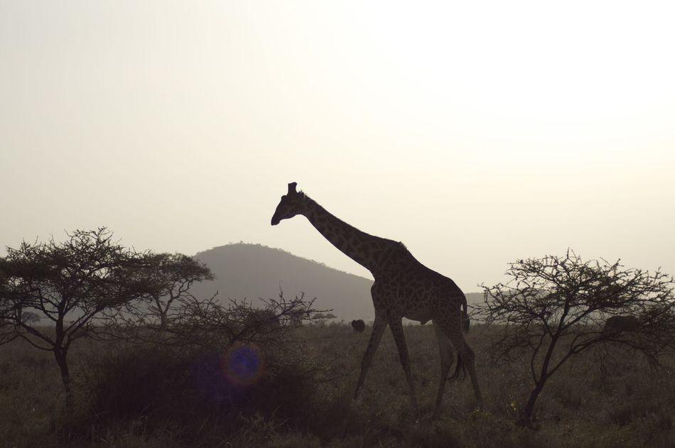 Giraffe Silhouette Africa Wildlife African Safari Animal Themes Animal Wildlife Animals In The Wild Giraffe Landscape Nature One Animal Outdoors Savana Silhouette Tree