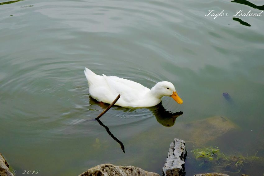 Enjoying Life Relaxing Taking Photos My Photography Check This Out Hanging Out Parkfest Duck