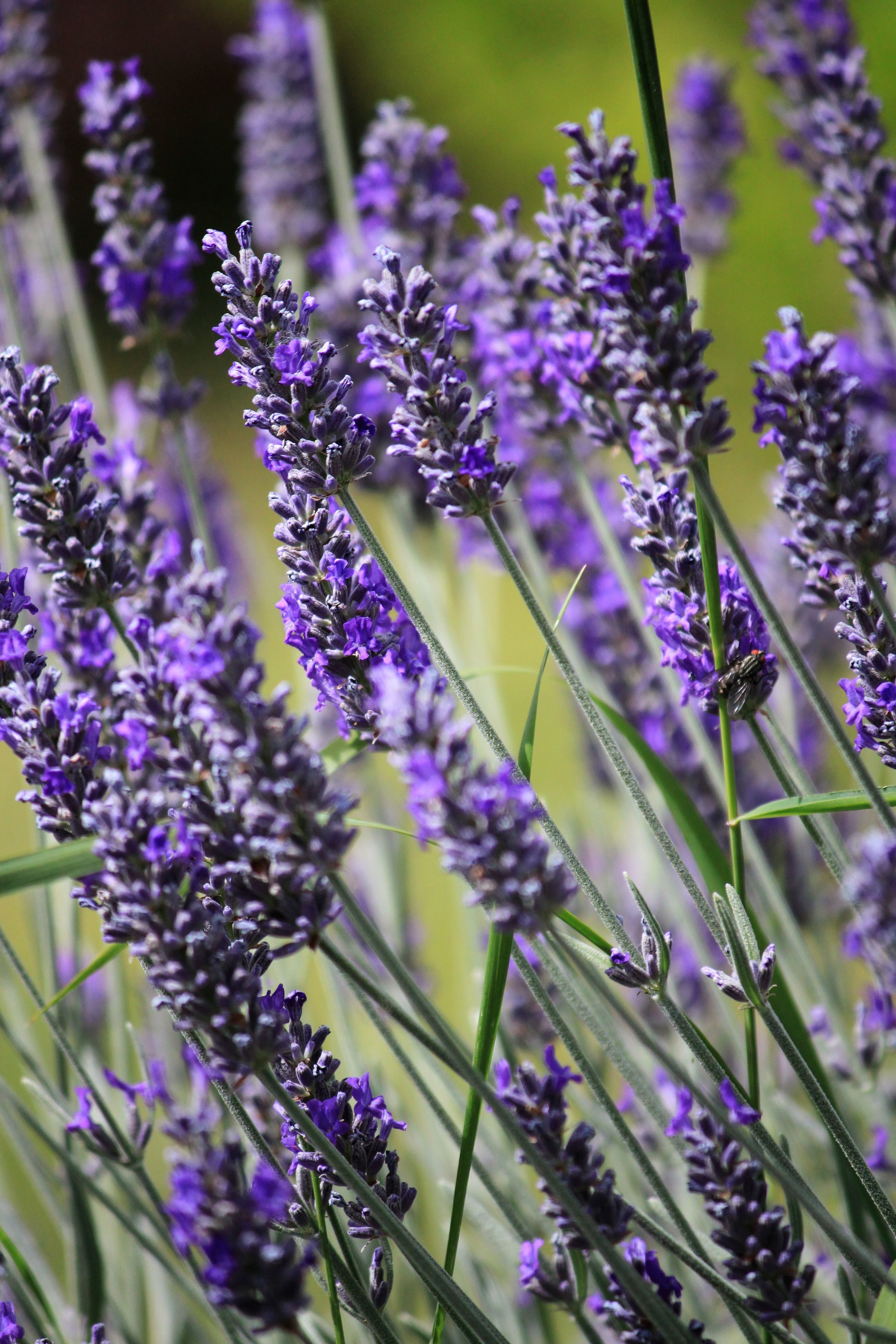 nature, flower, growth, purple, plant, beauty in nature, fragility, freshness, no people, outdoors, lavender, day, close-up, animal themes, flower head