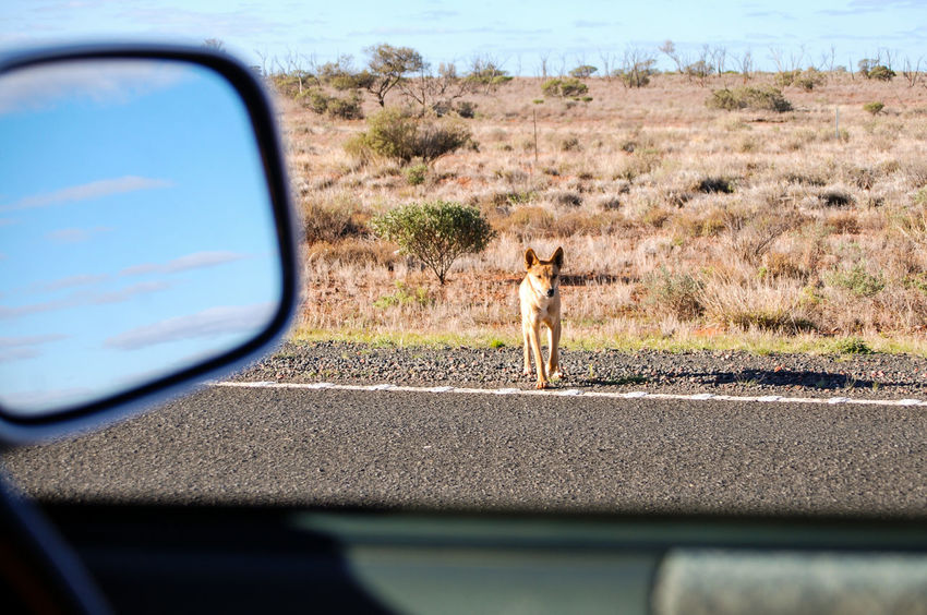 The Dingo 2/3 : It was during our road trip through Australia. On the road in the middle of the desert, we met a dingo pack was running along a fence. We stopped for taking photos, when suddenly one of them leave the pack and came to look at us. It was really amazing to see this wild and emblematic animal as curious as us! When he decided to approach, we decided it was the time to us to leave... Northern Territory - Australia Dingo Dog On The Road Wildlife Wild Dog Faune Australienne In The Car Animals Desert Life Feel The Journey Original Experiences MeinAutomoment MeinAutomoment