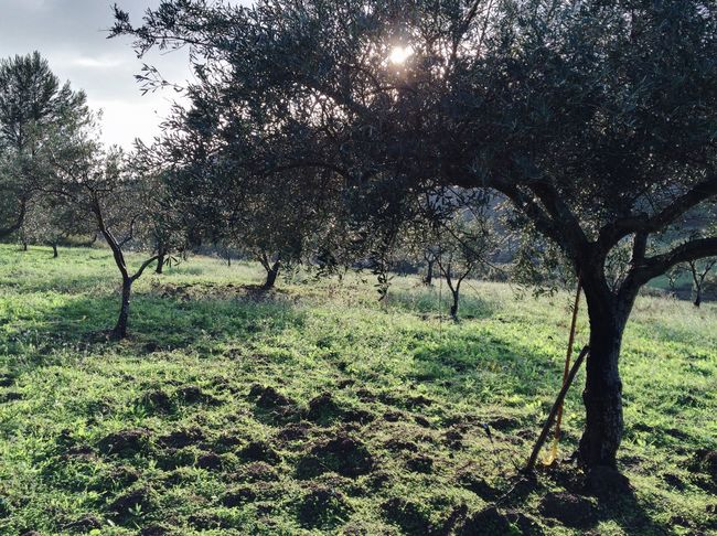 Ancient Land 1.2 IPhoneography Green Grass Colors Hello World Light And Shadow Capture The Moment Enjoying Life Beautiful Nature Italianeography Traveling Trees Sicily Hanging Out Autumn Landscape Sky Olive Tree Olives Thanksgiving Harvest