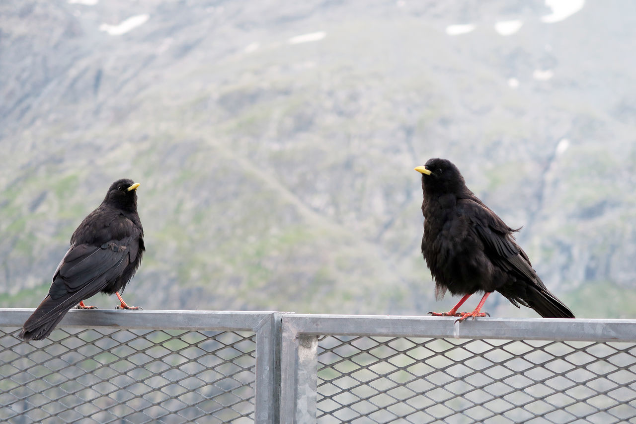 two Alpine chough resting on a fence at Grossglockner mountain area in austria. Alpine Chough Alps Animal Themes Animal Wildlife Animals In The Wild Bird Chough Day Grossglockner Grossglockner Nature Perching Two Animals