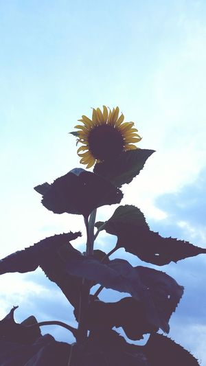 Sunflower Sky And Clouds Plants Public Garden