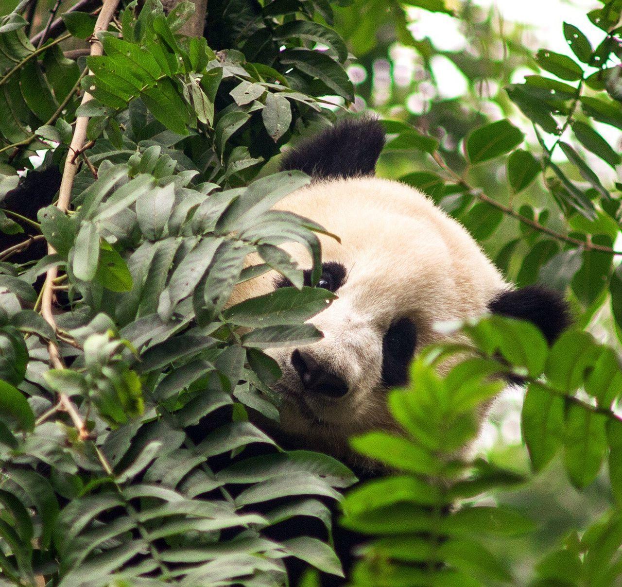 Gaint Panda Climing Tree Cuddlemonster Cute Animals Sichuan Province Chengdu