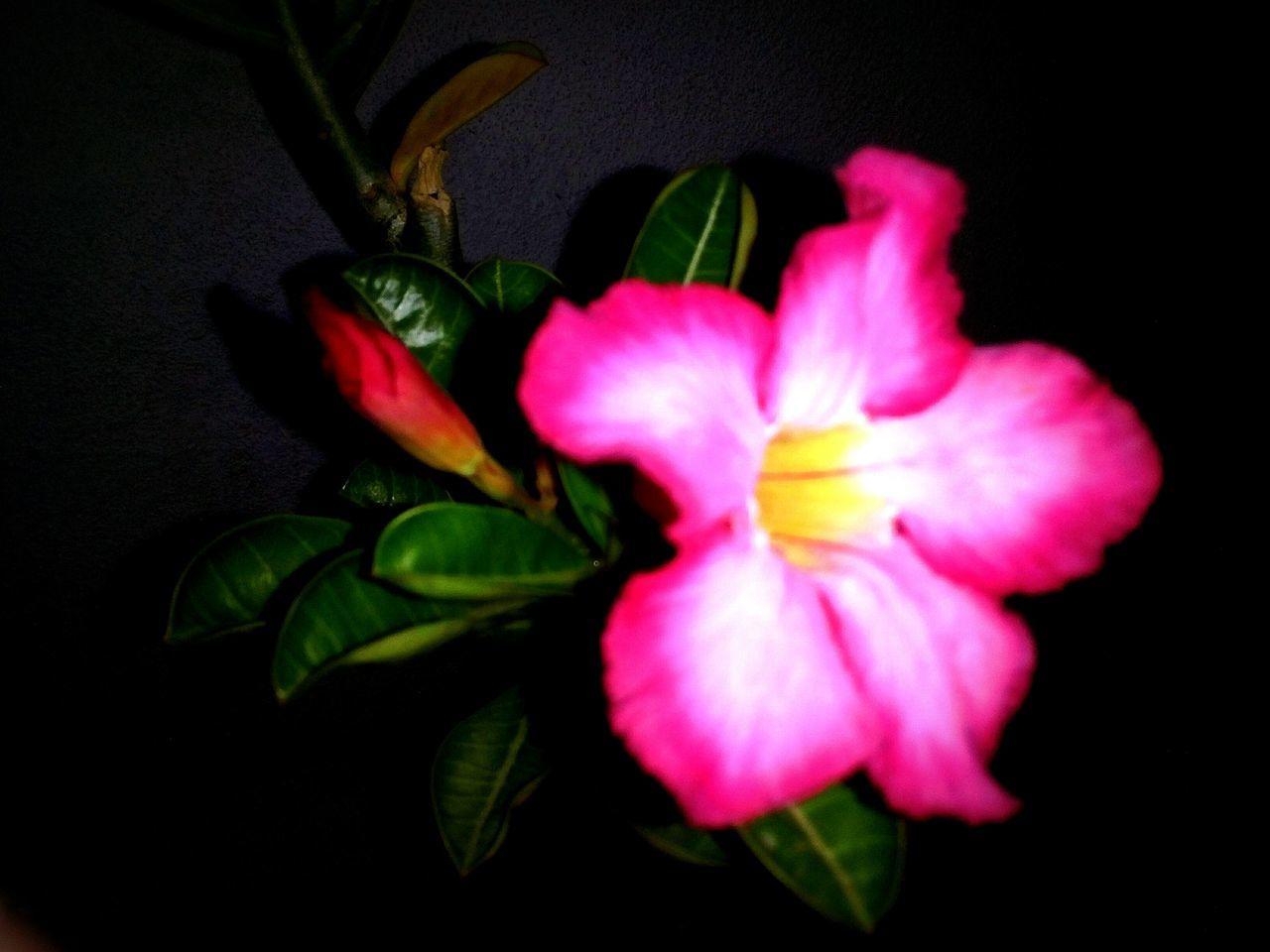 Flowerpower Dark Desertrose