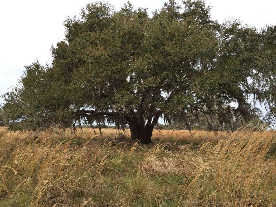 Lone oak Florida Nature Florida Trail Three Lakes WMA Oak Tree Spanish Moss Yellow Field Landscapes With WhiteWall